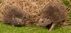 Picture of Pair of Hedgehogs Bronze Sculptures (Thomas Meadows)